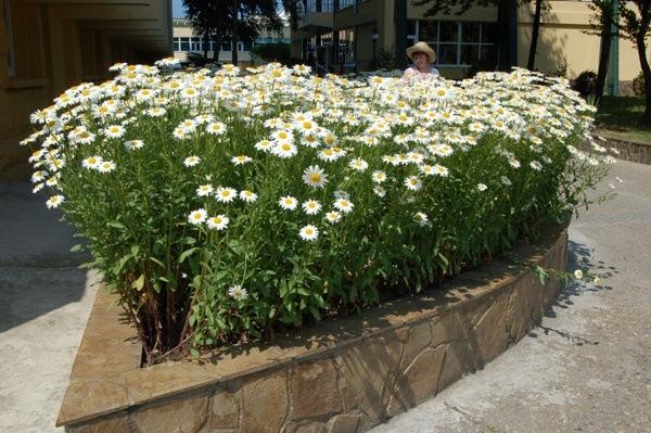 Выращивание ромашки дома 88